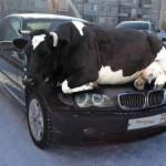 Cowpooling