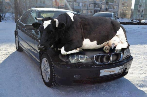 Cowpooling - Car humor