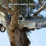 Beautiful nesting Falcon
